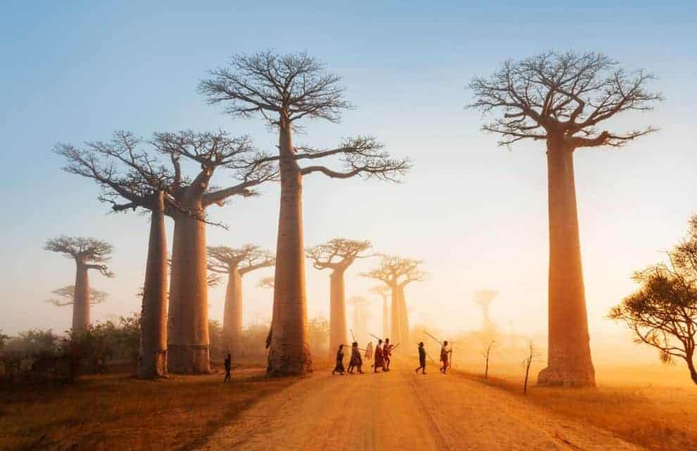 Madagaskar träd